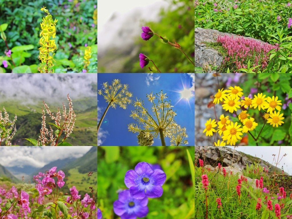 flowers in Valley of flowers Uttarakhand