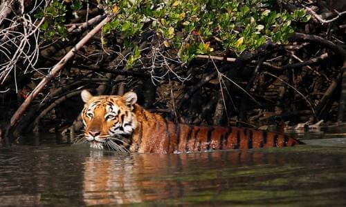 Royal Bengal Tiger in Sunderban