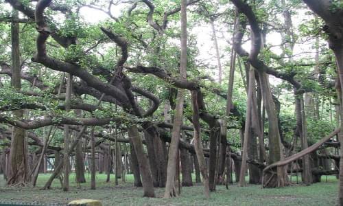 Great Banyan Tree