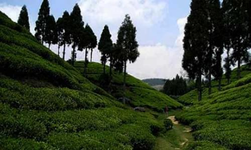 Tea Estate Kailashaha