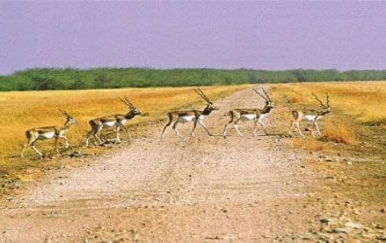 Justwravel_Bhavnagar_1483948036_1blackbuck_national_park.jpg