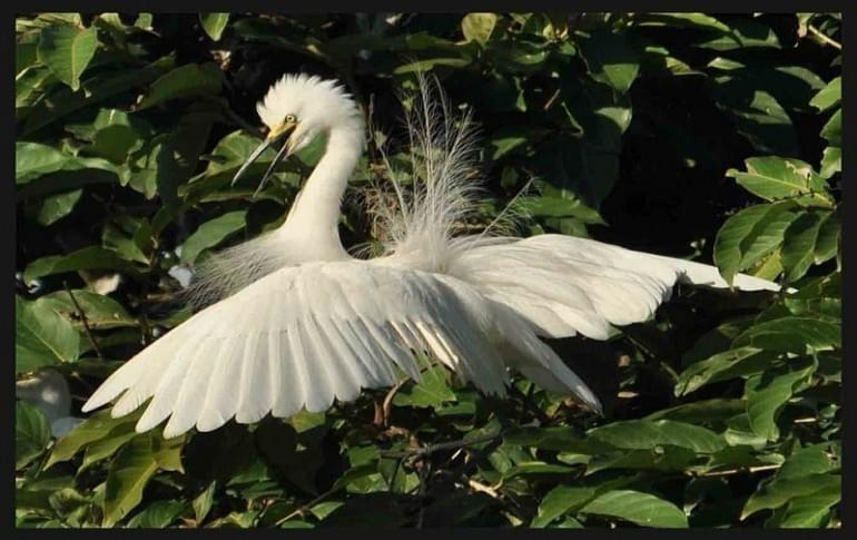 Justwravel_Raiganj_1470636610_0Little_Egret_raiganj_wildlife_sanctuary.jpg