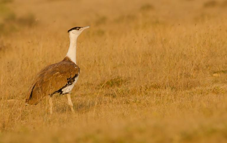 Justwravel_Solapur_1483862882_0Great_Indian_Bustard.jpg