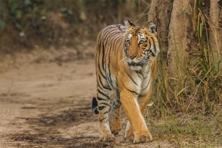 Jim-Corbett-Jungle-Safari-Tour-JustWravel-1597386550.jpg - JustWravel